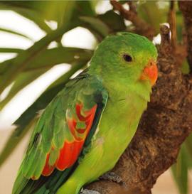 Дятловые попугайчики