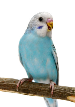 Попугаи: виды домашних попугайчиков, как выбрать и сколько 49
