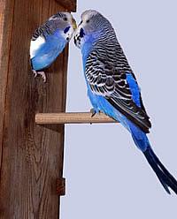 Уход за волнистыми попугаями в домашних условиях: )