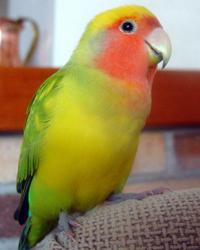 неразлучники фото попугая: http://mazurv.ru/page/nerazluchniki_foto_popugaya/