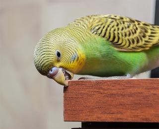 как научить говорить попугая
