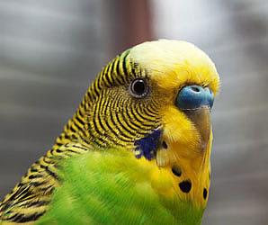 выбор попугая