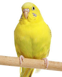 выбрать волнистого попугая