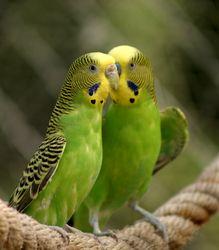 Всё о попугаях неразлучников - 55