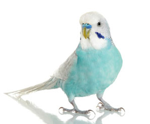 как выбрать волнистого попугайчика