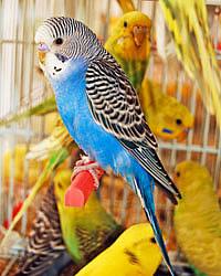 попугаи картинки волнистые